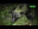 Охота на медведя и кабана часть 2