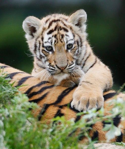 Сегодня 29 июля – Международный день тигра!