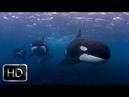 Terrible power Of Killer Whales in the ocean - NatGeo Wild documentary 2018