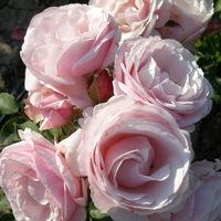 Питомник роз овчарова каталог роз