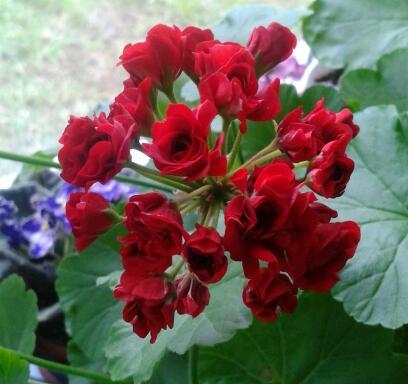 Цветы у Ликки 9lJSlhU_T_g