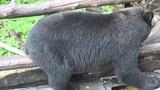YOUTH HUNTER SHOOTS RECORD BOOK MANITOBA BLACK BEAR WITH BOW