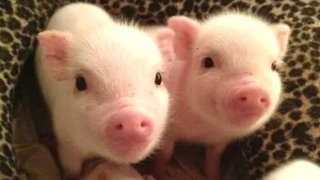 Micro Pigs 🔴 Cute and Funny Mini Pig Videos Compilation (2018) Mini Pigs Adorables Videos