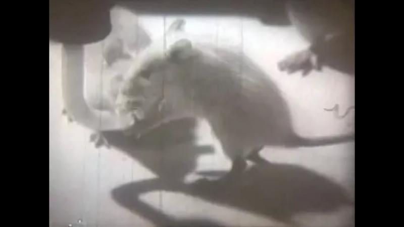 Алкоголизм. Последствия на подопытный крысах.
