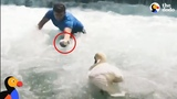 Man Rescues Baby Swan and Reunites Him With Mom The Dodo