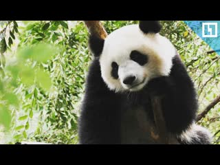 Панды-милахи поселились в Московском зоопарке