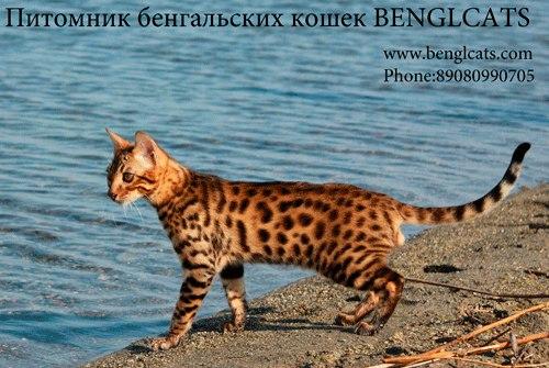 Бенгальская кошка бенгальские котята