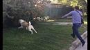 Бурная реакция на собак один из способов как отучить реагировать на собак Алабай Ермак