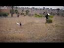ЛЕОПАРД В ДЕЛЕ Леопард против крокодила гиены антилопы 360 X 640 mp4