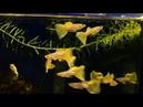 Dòng cá bảy màu mới Pingu yellow tại trại cá kiểng Diamond Da