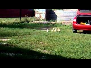ануебаныйврот - Вот так вот гуси слушаются своих хозяев!