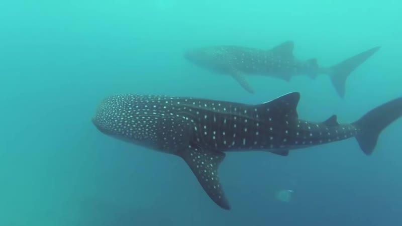 Танец с китовыми акулами