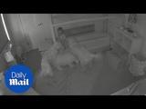 Partners in crime Golden retrievers open toddler's door for food - Daily Mail