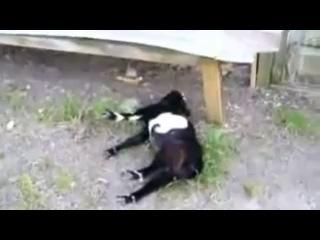 Паралич козы - прикол с животными