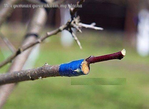 КАК ПРАВИЛЬНО ПРИВИТЬ НА ОДНУ ЯБЛОНЮ НЕСКОЛЬКО СОРТОВ. (советы агронома) Прививками я занимаюсь уже более 20 лет, мне это доставляет несказанное удовольствие. На каждом дереве у меня по