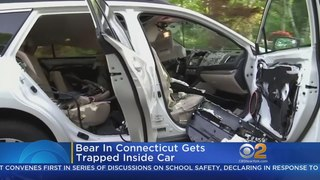 Bear In Connecticut Gets Trapped Inside Car