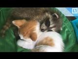 Крошка-енот и котёнок стали друзьями