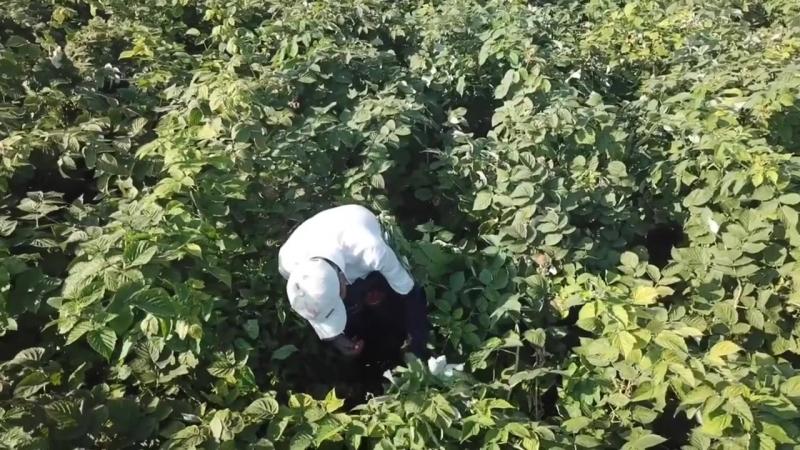 Малиновая плантация Правильная ягода