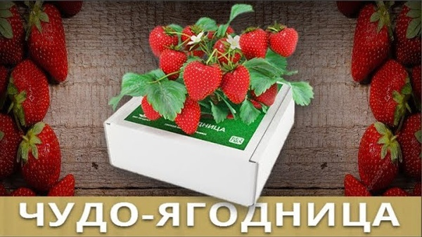 Чудо-ягодница Сказочный сбор в Ноябрьске