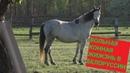 Конная жизнь в Белорусской глубинке. Красивые лошадки и пейзажи.