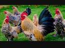 Детям про курицу, петуха и цыпленка