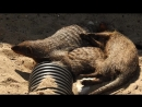 мангусты на пляже