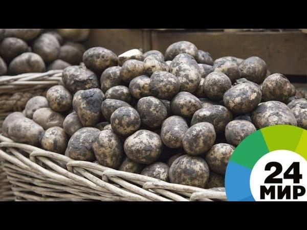 Почему торговые сети отказываются закупать отечественный картофель - МИР 24