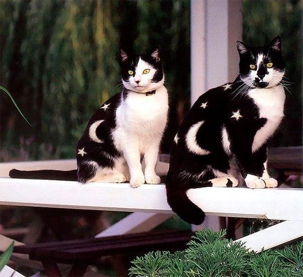 Полуночные коты.