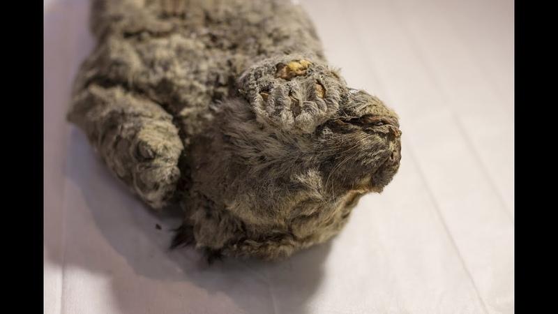 Cloning hope for 50,000 year old cave lion (пещерный лев львёнок, мумия)