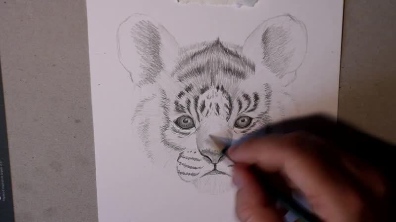 Как нарисовать маленького тигренка карандашом Прорисовка шерсти