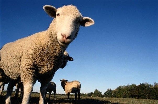 Овцы могут узнавать друг друга на фотографиях.