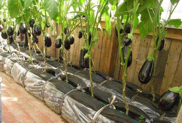 Формирование баклажанов – увеличьте урожай в 10 раз!
