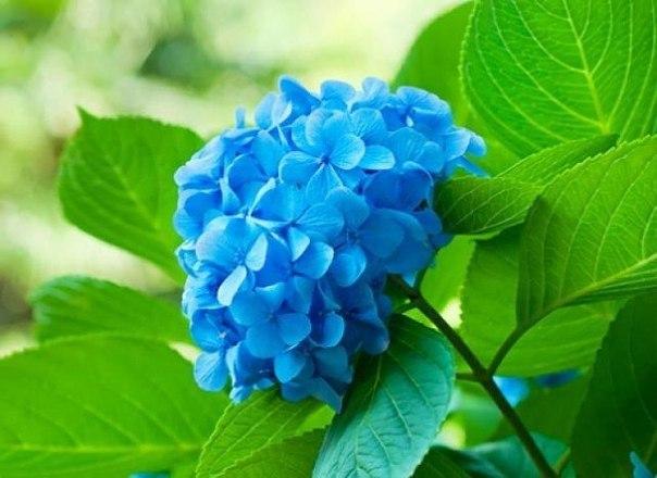 Как получить сиреневые и голубые цветки у гортензии. Это интересно.