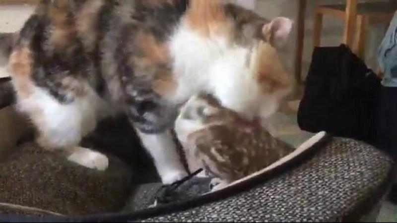 Cat gives owl friend a bath
