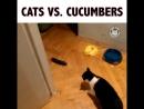Коты ненавидят огурцы!