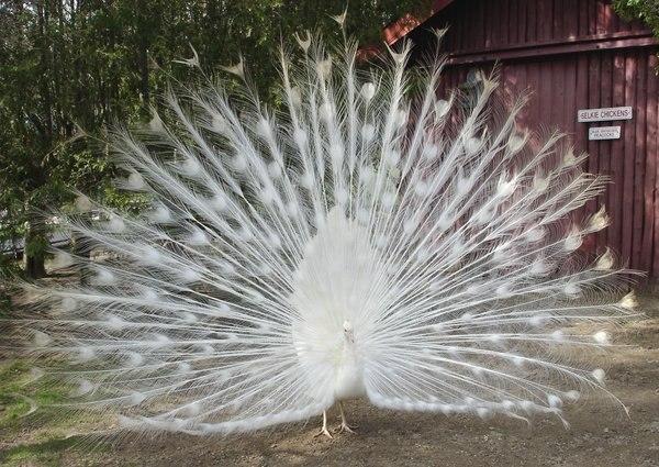 Белый павлин***
