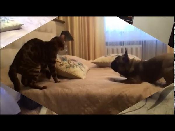 ФРАНЦУЗСКИЙ БУЛЬДОГ И БЕНГАЛЬСКИЙ КОТ. ИГРЫ. French Bulldog vs Bengal cat