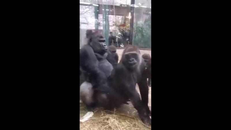 зоофилия секс с гориллой