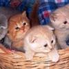 Британские котики и кошечки!
