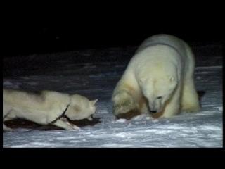 Собаки против белых медведей.