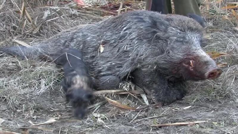 Giant wild boars Best hunts in Croatia Die beste Jagd auf Kapitalkeiler in Kroatien