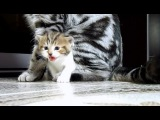 Funny Cats  Compilation (Fail and win Kittens from Chorus Line)