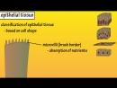 Epithelial Tissue - What Is Epithelial Tissue - Functions Of Epithelial Tissue - Epithelial Cells