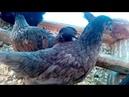 Вода для птицы и полива в Кубеинке Три Богатыря Обзор цыплят и переселение