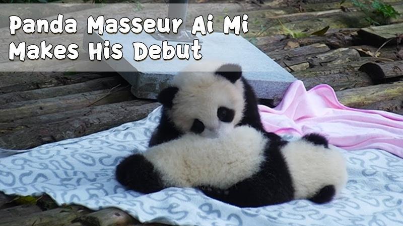 Who Would Like To Be Rookie Panda Masseur Ai Mi's Second Customer? | iPanda
