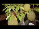 Cara buat TABULAMPOT DURIAN agar pohon durian cepat berbuah~ cara cangkok susu durian~