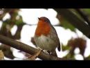 Пение птиц в природе.Зарянка