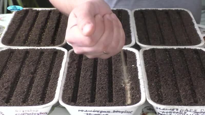 Посев сальвии, лобелии, алисума. Продолжаем посев цветов.