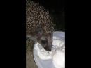 ежик кушает домашние сливки
