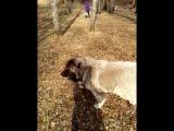 Зарина. Кавказская овчарка.